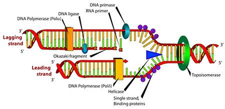 AkGmXBhQbWA6glISRaOw_dna-polymerase_1+(1).jpg
