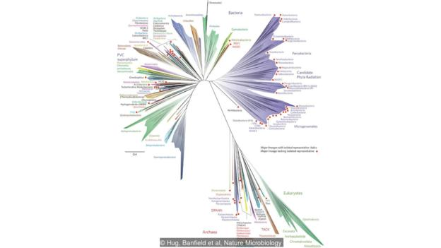 The tree of life: most of the branches are bacteria (Credit: Hug, Banfield et al, Nature Microbiology)