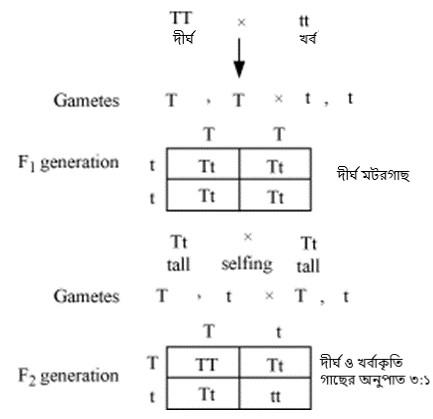 Figure 5 Punnett Square