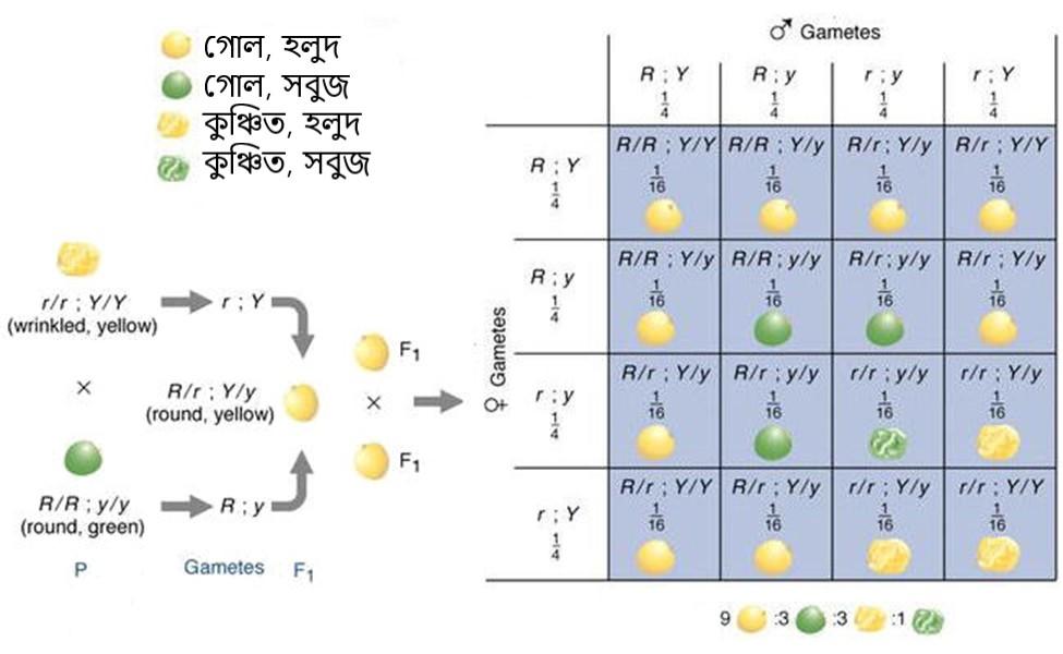 Figure 6 দুটি ভিন্ন বৈশিষ্টের সংকরায়নের ফলাফল